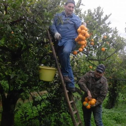 Raccolta arance in cima